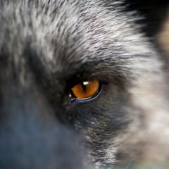 a Close up eyes animal