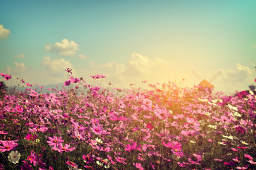 Wall Mural - Landscape of cosmos flower field with sunlight. vintage color tone