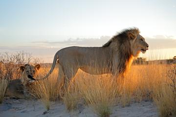 Big male African lions (Panthera leo) in early morning light, Kalahari desert, South Africa.