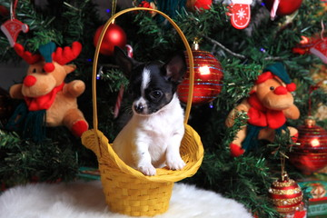 щенок чихуахуа в корзинке