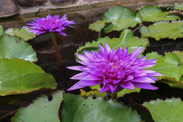 Purple lotus flower opened on a pond and waterlilies around
