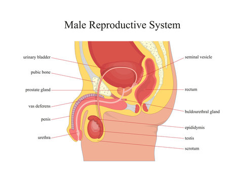 Male reproductive system.Vector illustration.