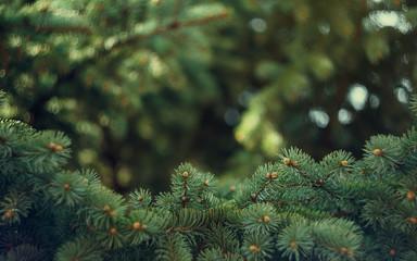 Fir-tree background