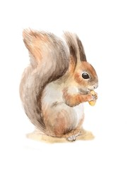 Squirrel with a nut. Watercolor illustration