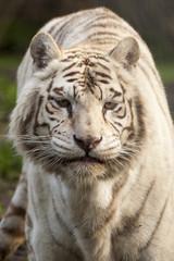 Acrylic Prints Tiger Zwart witte tijger staart