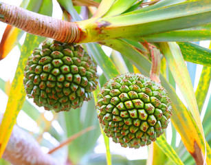 The Common Screwpine (Pandanus utilis) it is native to Madagascar, Mauritius, and the Seychelles. Very healthy and tasty fruit from tropical destinations.