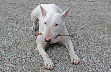 White English Bull Terrier chewing on a stick