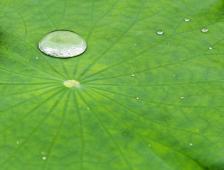 dew drop in a lotus leaf