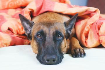 Belgian Shepherd dog Malinois lying on owner's bed