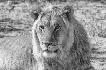 portrait of a lion at kgalagadi