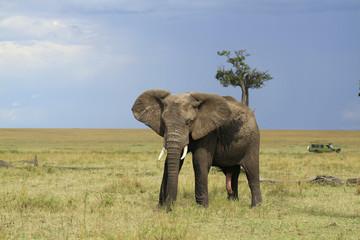Elefante Maasai