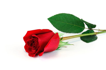 single rose laying on white background