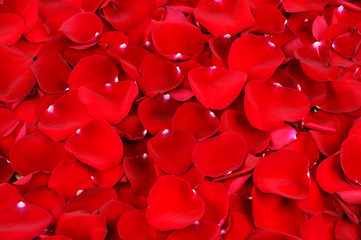 red rose petal background