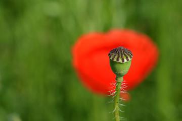 Poppy flower head
