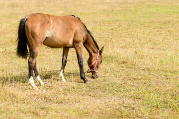 Wall Mural - Young horse on the field chews straw (foal on dry grass)