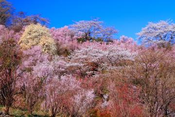 春の花見山