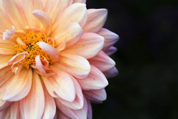 Close Up of Dahlia Flower