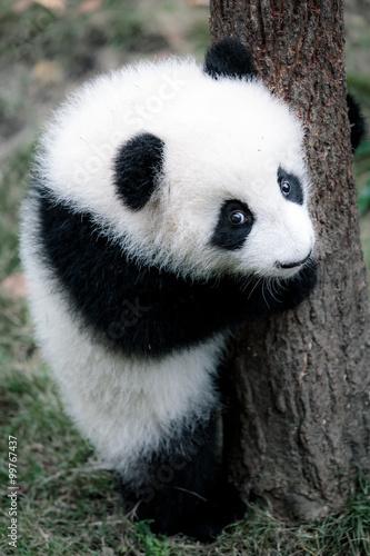 cute little panda photo libre de droits sur la banque d 39 images image 99767437. Black Bedroom Furniture Sets. Home Design Ideas