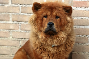Photo closeup portrait of cute Chow Chow fluffy guardian dog pet broad skull small triangular ears with reddish smooth thick fur coat on sitting against masonry wall background, horizontal picture