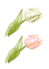 White and pink tulips.