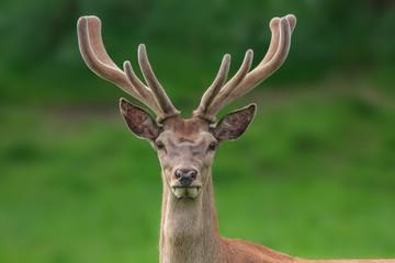 red deer portrait with fuzzy velvet antler