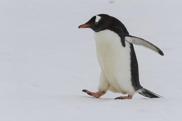 Adult gentoo penguin waddling on snow