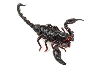 isolated black scorpion