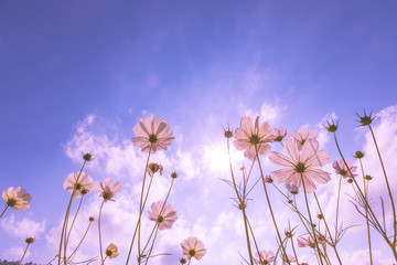 purple, pink, red, cosmos flowers in the garden with blue sky and sunlight background in vintage pink style soft focus.