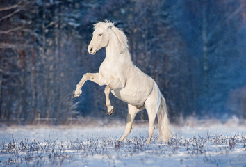 Beautiful white andalusian stallion rearing up in winter
