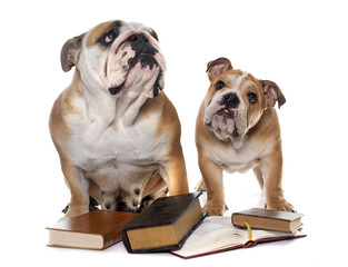 Wall Mural - young english bulldogs and books