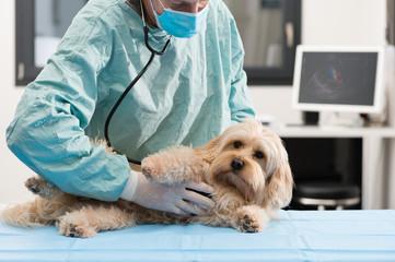 Vétérinaire et chien échographie