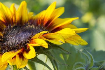 sunflower in the garden (Helianthus)