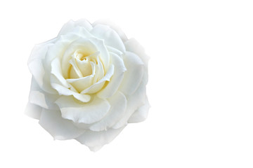 Soft blur focus white rose on white blackground with copy space