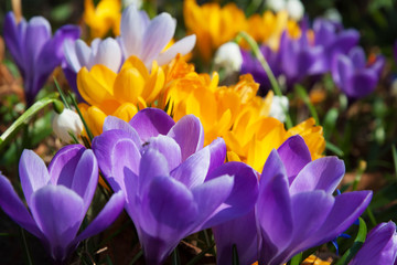 Blooming yellow purple and white crocuses