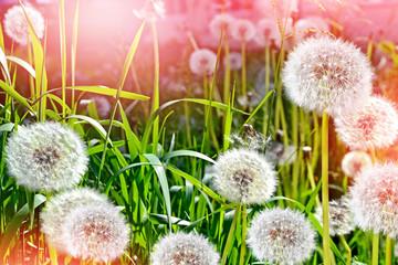 Wildflowers dandelions. Spring flowers