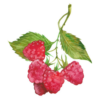 watercolor red raspberry