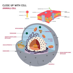 animal cell cross section structure of a Eukaryotic cell Vector