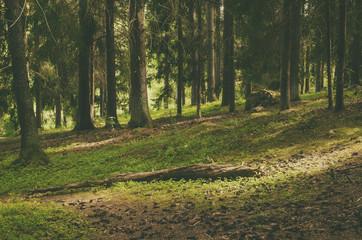 North scandinavian pine forest, Sweden natural travel outdoors vintage hipster background