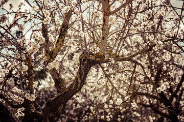 Mandelblüte Mallorca - Stamm und Blüten im Gegenlicht