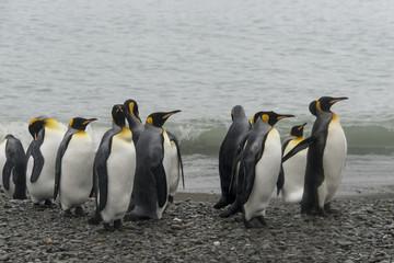 Manchot royal, Fortuna Bay, Georgie du Sud, Iles Sub Antarctiques, Grande Bretagne
