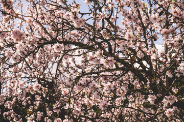 Mandelblüten am Mandelbaum