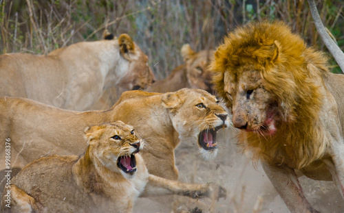 Fight in the family of lions. National Park. Kenya. Tanzania. Masai Mara. Serengeti. An excellent illustration.