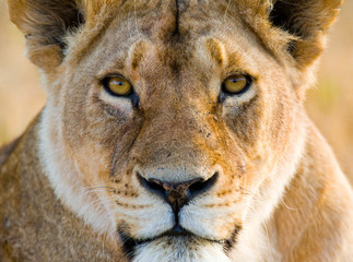 Portrait of a lioness. Close-up. Kenya. Tanzania. Maasai Mara. Serengeti. An excellent illustration.
