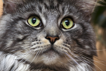 young tabby cat Maine Coon
