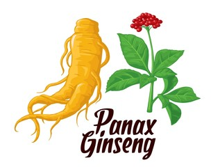 Root and leaves panax ginseng. Vector colorful flat illustration of medicinal plants. Biological additives are. Healthy lifestyle. For traditional medicine, gardening.