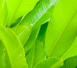 Fresh green leaves on tropical plants natural  background