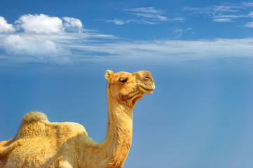 Camel and blue sky adventure photography