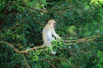 Vervet monkey on a branch