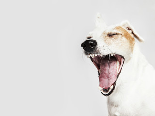 Studio portrait of the yawning dog Russel Terrier