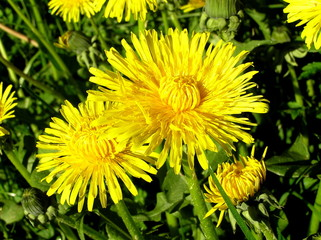 yellow dandelion, Taraxacum officinale